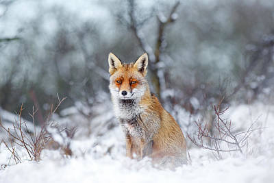 The Photograph - Red Fox Blue World by Roeselien Raimond