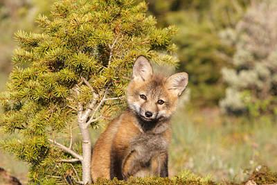 Red Fox Cub Print by M. Watson