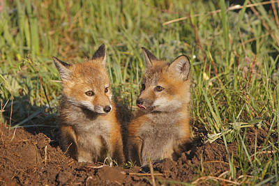Red Fox Cubs Print by M. Watson