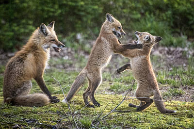 Red Fox Cubs Playing Print by Jim Pearson