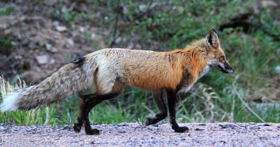 Photograph - Red Fox by Shane Bechler