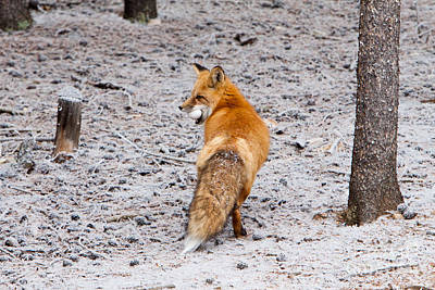 Photograph - Red Fox Egg Thief by John Wadleigh