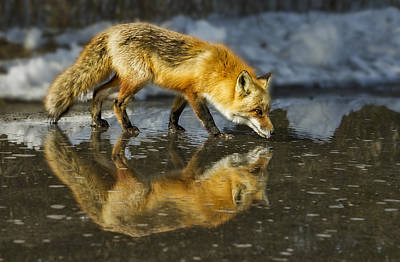Red Fox Has A Drink Art Print by Susan Candelario