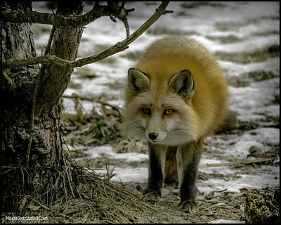 Woodland Photograph - Red Fox I Have Entered Your Turf by LeeAnn McLaneGoetz McLaneGoetzStudioLLCcom