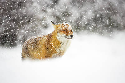 Red Fox In A Heavy Snowstorm Art Print