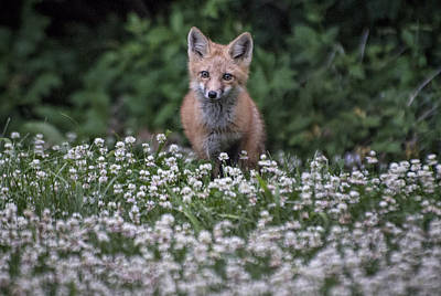 Red Fox In Clover Print by Jim Pearson