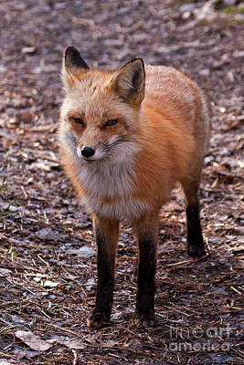 Photograph - Red Fox In Prospect Park by Fred Stearns