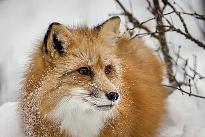 Photograph - Red Fox In Snow by Jack Bell