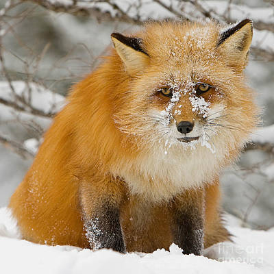 Fox Digital Art - Red Fox In Snow by Jerry Fornarotto