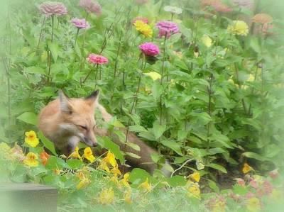 Photograph - Red Fox In Summer Garden by Diane Alexander