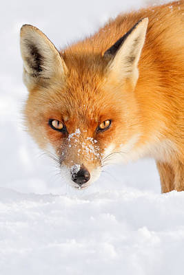 Red Fox In The Snow Art Print by Roeselien Raimond