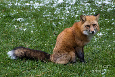 Photograph - Red Fox by Jim McCain