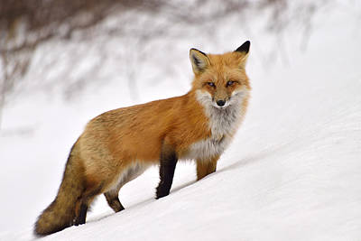 Photograph - Red Fox by Joshua McCullough