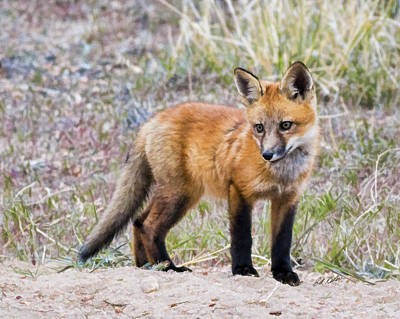 Photograph - Red Fox Kit - Artistic by Bill Kesler