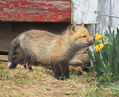 Photograph - Red Fox Kit And Daffodils by John Burk