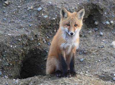 Photograph - Red Fox Kit By Den by Lucinda VanVleck