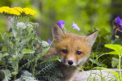 Red Fox Kit In Spring Wildflowers Art Print by Michael DeYoung