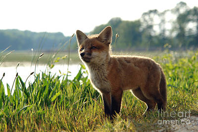 Red Fox Kit Art Print by Olivier Le Queinec