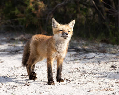Photograph - Red Fox Kit On Fire Island by June Jacobsen