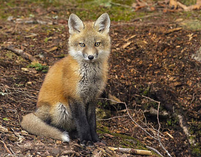 Photograph - Red Fox Kit-posing by John Vose
