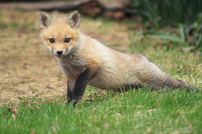 Photograph - Red Fox Kit Stretching by John Burk