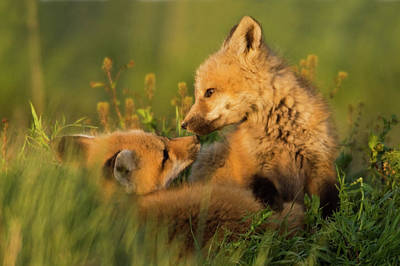 Red Fox Kits Art Print by Ken Archer