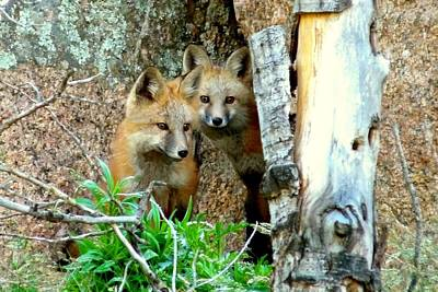 Photograph - Red Fox Kits by Marilyn Burton