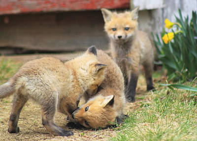 Photograph - Red Fox Kits Playing by John Burk