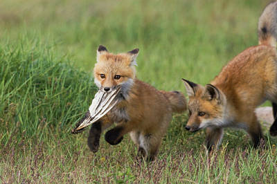 Red Fox Kits Playing With Bird Wing Art Print by Ken Archer