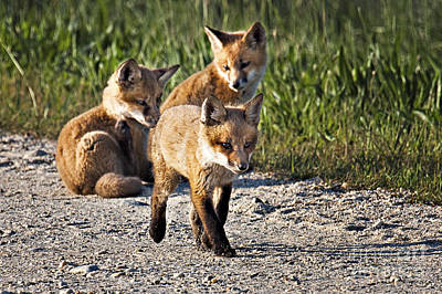 Photograph - Red Fox Kits by Ronald Lutz