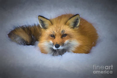Photograph - Red Fox Laying In Snow...........paintography by Dan Friend