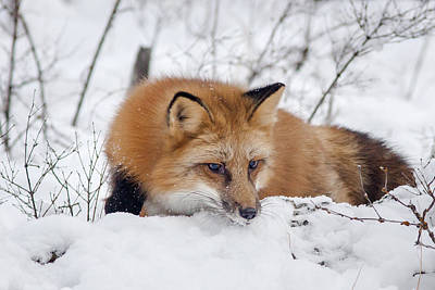 Photograph - Red Fox Making Dinner Plans by Jack Bell