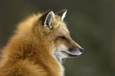 State Of Montana Photograph - Sly Red Fox by Malcolm Schuyl