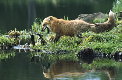Photograph - Red Fox Mother Playing With Kit by Konrad Wothe