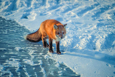 Photograph - Red Fox On Ice by Randy Green
