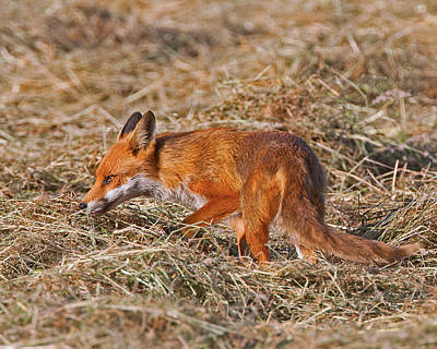 Photograph - Red Fox by Paul Scoullar
