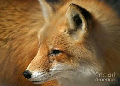 Photograph - Red Fox Portrait by Living Color Photography Lorraine Lynch