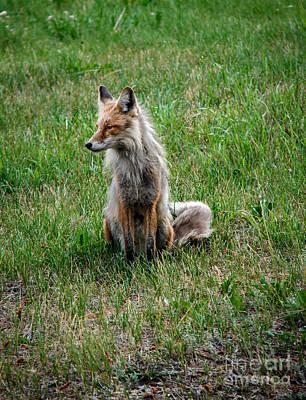 Red Fox Portrait Art Print by Robert Bales