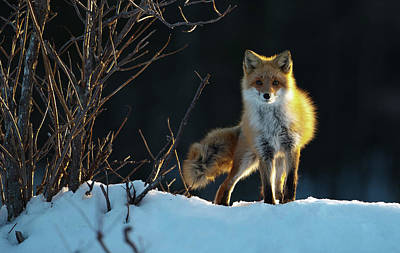 Wild Animals Photograph - Red Fox by Sanin Alexandr
