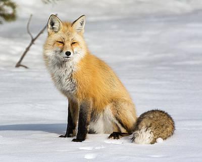 Red Fox Sitting Art Print