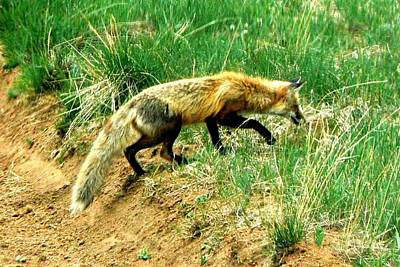 Photograph - Red Fox Stealthing by Marilyn Burton