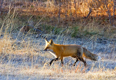Steven Krull Royalty-Free and Rights-Managed Images - Red Fox by Steven Krull