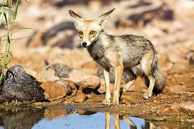 Red Fox Vulpes Vulpes Art Print