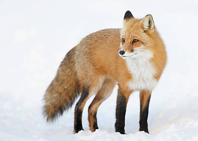 Winter In Montreal Photograph - Red Fox  Vulpes Vulpes  Standing by Vladislav Kamenski