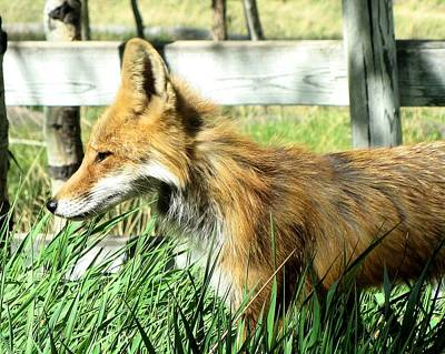 Photograph - Red Fox by Wade Waldrup