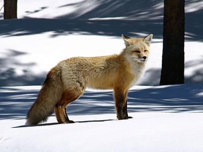 Photograph - Red Fox Welcomes Spring by DeeLon Merritt