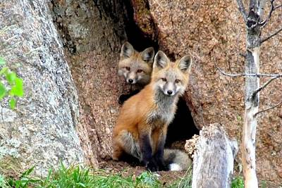 Photograph - Red Foxes by Marilyn Burton