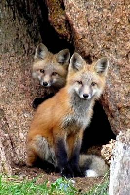Photograph - Red Foxes - Portrait by Marilyn Burton