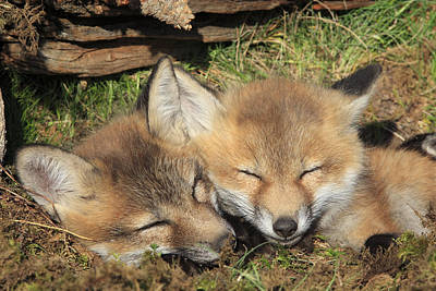 Red Foxes Sleeping Print by M. Watson