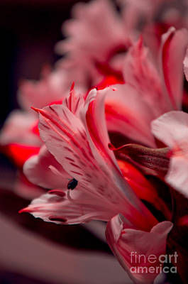Photograph - Red Freesia by Adria Trail